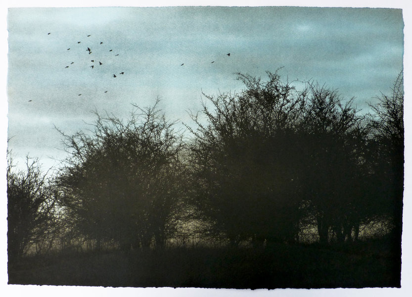Starlings flying over some round trees